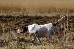 Niemiecki Shorthaired pointeru polowanie Zdjęcia Royalty Free