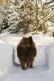 Niemiecki Spitz na ulicie w zimie kraść Fotografia Stock