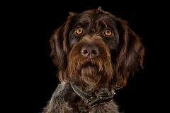 Niemiecki wirehaired pointer na czerni obraz stock