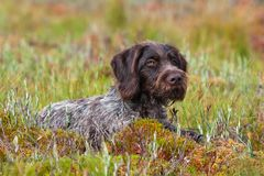 Niemiecki wirehaired pointer outdoors obrazy royalty free