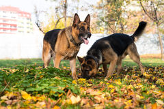 Niemieckiej bacy Alzacki Milicyjny pies Zdjęcia Royalty Free