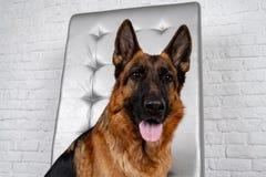 Niemieckiej bacy obsiadanie na rzemiennym krześle Dlaczego uczyć psa rozkaz obraz stock
