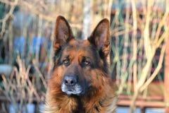 Niemieckiej bacy portret Zdjęcie Royalty Free