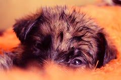 Niemieckiej bacy szczeniak Zdjęcia Stock