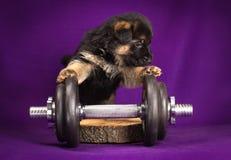 Niemieckiej bacy szczeniak z dumbbell Purpurowy tło fotografia stock