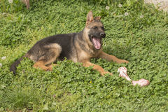 Niemieckiej bacy szczeniak z kością Zdjęcie Stock