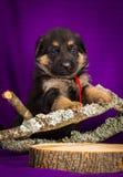 Niemieckiej bacy szczeniaka obsiadanie Purpurowy tło zdjęcie stock