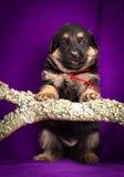 Niemieckiej bacy szczeniaka obsiadanie Purpurowy tło zdjęcia stock