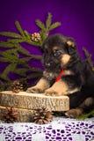 Niemieckiej bacy szczeniaka obsiadanie z jodłą rozgałęzia się na purpurowym tle obraz stock