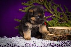 Niemieckiej bacy szczeniaka obsiadanie z jodłą rozgałęzia się na purpurowym tle obrazy stock