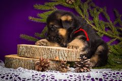 Niemieckiej bacy szczeniaka obsiadanie z jodłą rozgałęzia się na purpurowym tle obraz royalty free