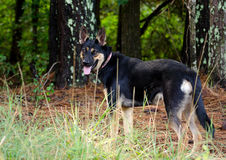 Niemieckiej bacy trakenu Mieszający pies Zdjęcia Royalty Free