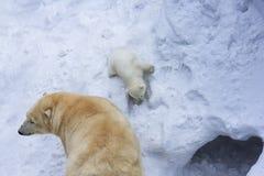 niemowlę biegunowy bear ma miłości matki dziecko zabawa zdjęcia stock