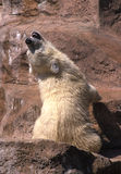 niemowlę biegunowy bear Zdjęcie Stock