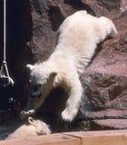 niemowlę biegunowy bear Fotografia Stock