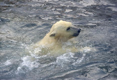 niemowlę biegunowy bear Zdjęcie Royalty Free