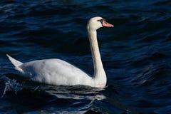 Niemy łabędź pływa w jeziorze fotografia royalty free