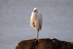 Śnieżny egret na skale Obraz Stock