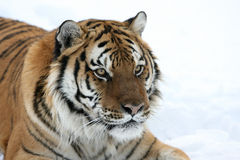 śnieżny siberian tygrys Zdjęcia Stock