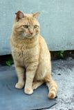 Nieociosany czerwony kot Obrazy Royalty Free