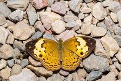 Nieociosany motyl fotografia stock