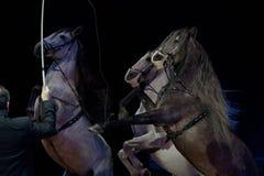 Nieokiełznani cyrkowi biali konie Obrazy Royalty Free