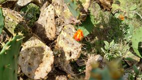 Nieotwarty Kaktusowy kwiat Obrazy Royalty Free