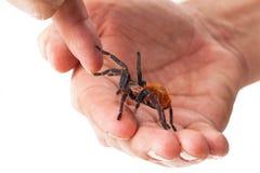 Niepłochliwy tarantula pająk w ręce Zdjęcia Royalty Free
