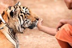 Niepłochliwy tygrys Obraz Stock