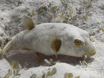 Niepokalana puffer Arothron immaculatus ryba w wodzie tr Zdjęcia Royalty Free
