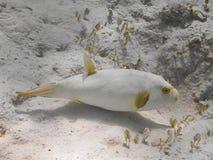 Niepokalany puffer Arothron immaculatus ryba dopłynięcie w wa Fotografia Royalty Free