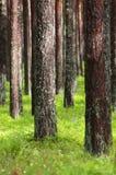 Nieporuszony Sosnowy las Obrazy Royalty Free