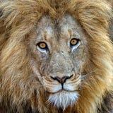 Nieprawdopodobny lew Obrazy Stock
