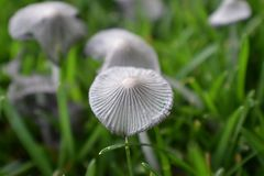 Nieprawdopodobny zakończenie pieczarki R W jardzie Dzika atrament nakrętka ono Rozrasta się w trawie w Utah, usa Zdjęcia Stock