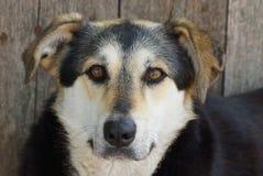 Nierówny pies z dużą głową i brązów oczami jest siedzący i patrzejący outside obraz stock