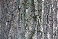 Nierówny siwieje barkentynę czarny topolowy drzewo Obrazy Royalty Free