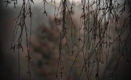 Niere knospt auf dünnen Niederlassungen in den Tröpfchen der Feuchtigkeit stockfoto