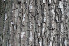 Nieregularny siwieje barkentynę czarny topolowy drzewo Zdjęcia Stock