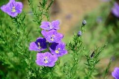 Nierembergia Royalty Free Stock Photos