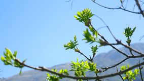 Nierenbloesem op bomen tegen de blauwe hemel Bloemen en bomen stock footage