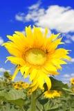 niesamowicie błękitne niebo słonecznik Obrazy Royalty Free