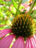 niesamowite echinacea uzdrowiciel Zdjęcie Royalty Free