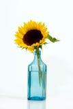 niesamowite tła odizolowany, biały słonecznikowy Fotografia Stock