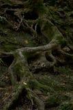 Niesamowity cewienie przy skałą korzeń drzewo obraz royalty free
