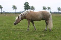 Niesendes Haflinger Pferd Stockbilder