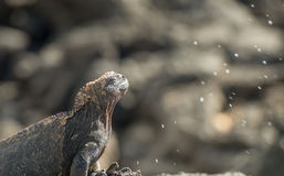Niesendes Salz Galapagos Marine Iguana von den nasalen Drüsen Lizenzfreies Stockfoto
