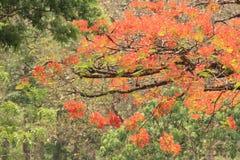 Nieskładny czerwony kwiatu drzewo Obrazy Stock