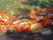 Nieskora ryba w stawie zdjęcia stock