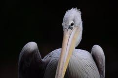Nieskory pelikan zdjęcie stock