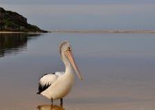 Nieskory pelikan w zachodniej australii fotografia royalty free